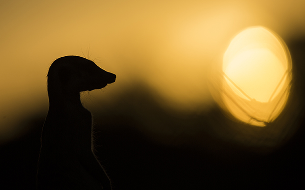 Suricate at sunset Bernd Wasiolka