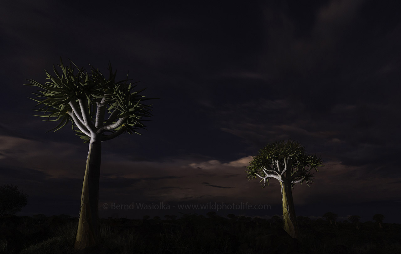 Quiver trees at night Bernd Wasiolka