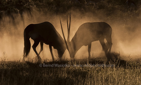 gemsbok_fight_bernd_waisolka