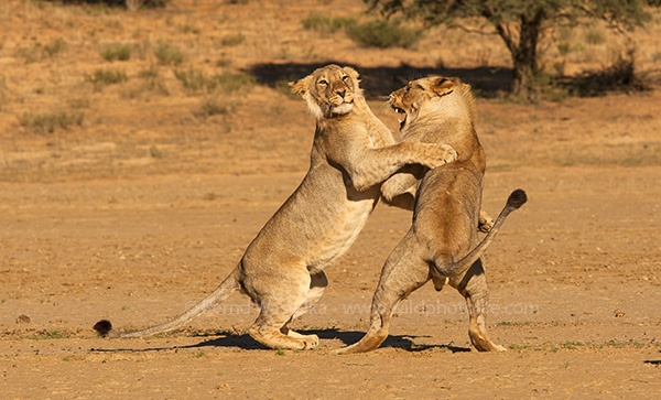 lion_play_fight_bernd_waisolka_1382127864