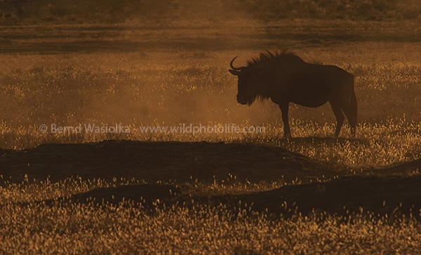 wildebeest_at_sunset_bernd_wasiolka