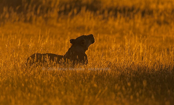 lioness_in_high_grass-prints_bernd_waisolka_530964571