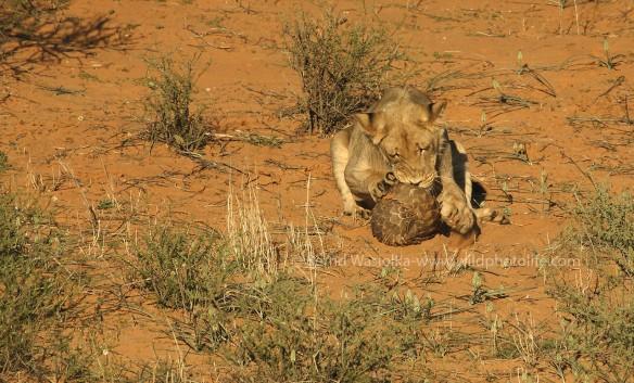 lion-pangolin-0-c2a9bernd-wasiolka-wildphotolife1