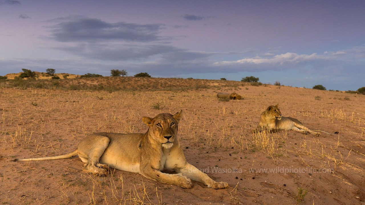 Lioness---Bernd-Wasiolka