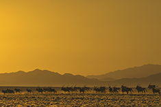 Namib Oryx backlit
