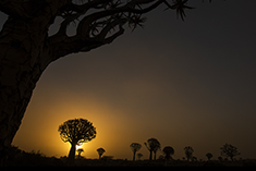Quiver tree Sunset Namibia